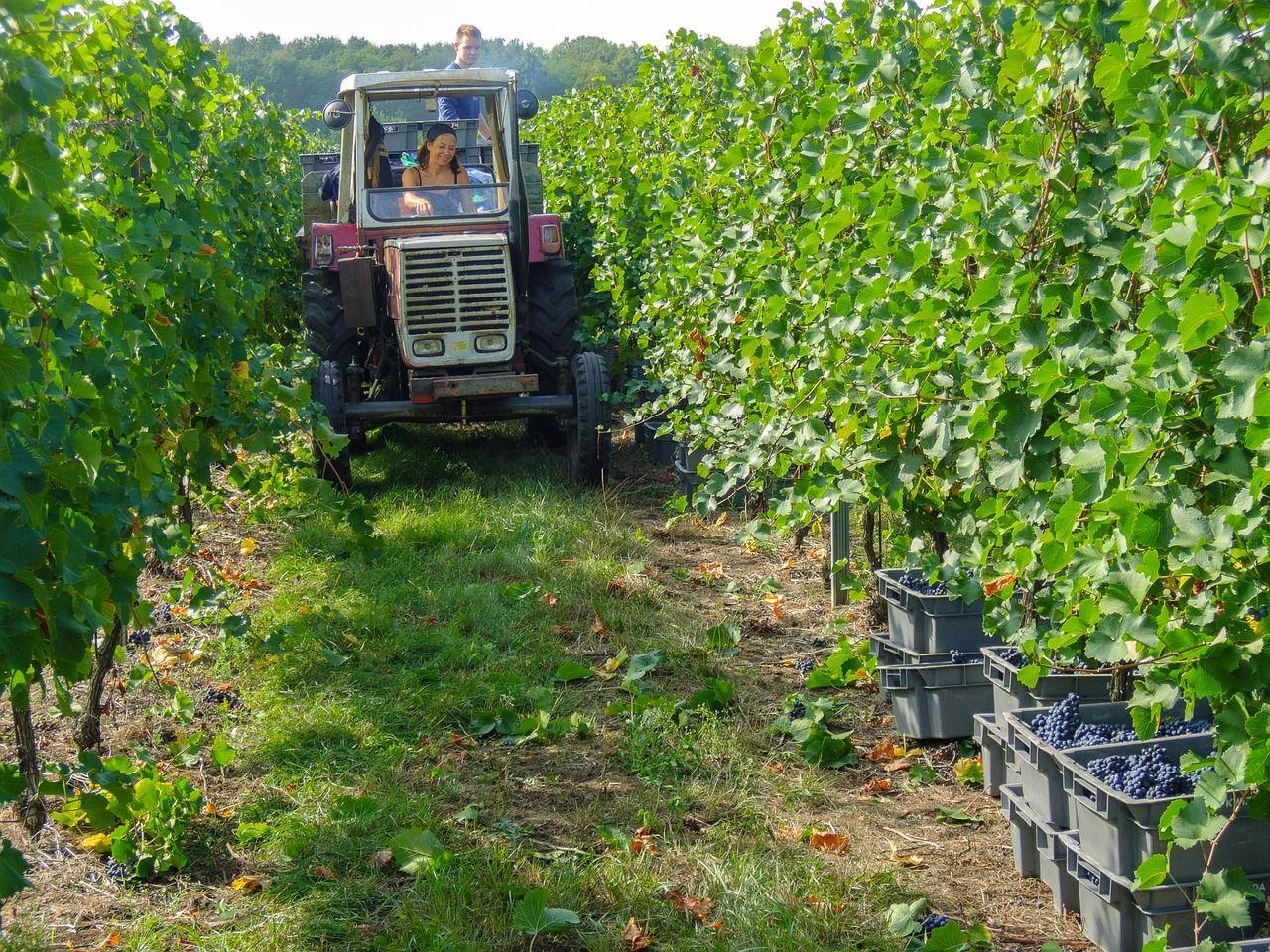 Une femme conduisant un tracteur dans les vignes