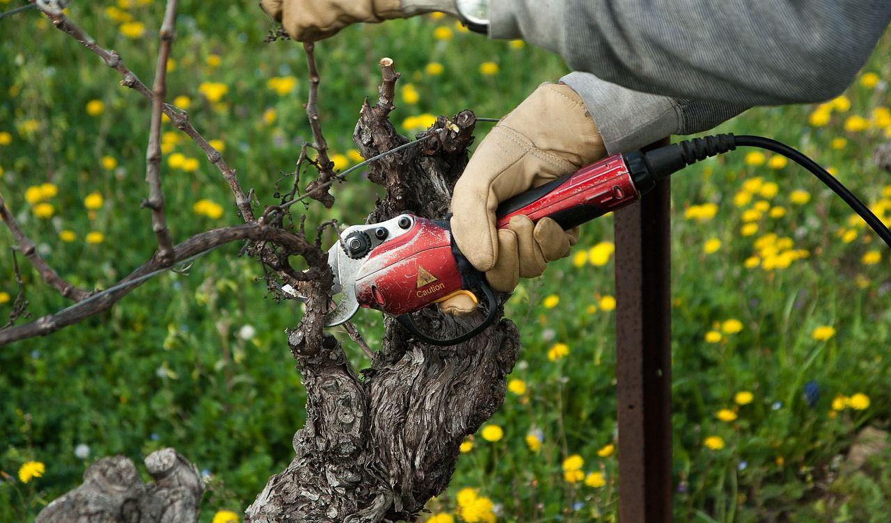 Image représentant la taille de la vigne, l'une des activités faisant partie de la vitiviniculture