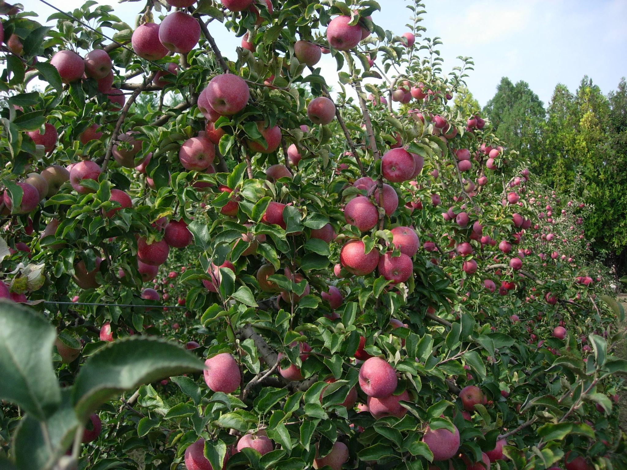 Photo représentant un champ de pommiers